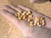 Китай скупает кукурузу и подсолнечное масло из Украины
