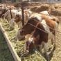 """Євросоюз відмовився від української молочки через """"допінг"""" для корів"""