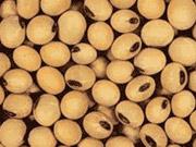 Переработка сои в Украине в текущем сезоне увеличится на более чем 30%