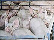 Беларусь запретила ввоз свинины из Кировоградской области Украины