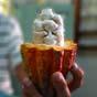 Bloomberg порівняло прибутковість від вирощування какао-бобів і коки