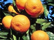 Вчені: Мандарини врятують від інсульту і ожиріння