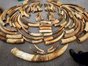 У Гонконзі затримали найбільшу за 30 років партію контрабандної слонової кістки (фото)