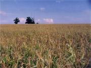 Закупівельні ціни на зерно в Україні зростуть