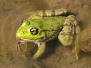 У Білорусі задумалися про експорт жаб і равликів