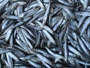 Вилов риби у водоймах України в 2015 р. збільшився на 17,7%