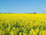 Українські аграрії зібрали 90% площ ріпаку