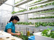 Вертикальные фермы помогут Сингапуру сократить импорт овощей