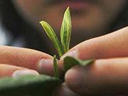 Ціни на чай можуть зрости у зв'язку зі зменшенням виробництва в Індії