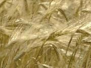 Урожай зерновых в Украине может вырасти до 70,8 млн тонн