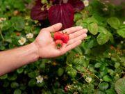 Зарплата украинцев в 2021 году за сбор ягод в Польше