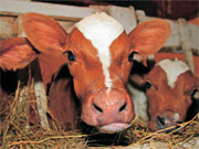 У Нідерландах обігрівають і освітлюють житло за допомогою корів