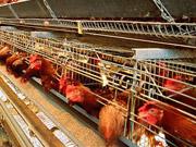 Кувейт снял запрет на импорт курятины и яиц из Украины