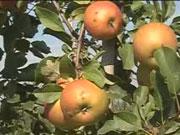 Міністр: Україна виходить на четверте місце в світі з виробництва яблук