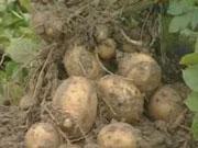 Трейдери заробили на експорті картоплі $3,4 млн