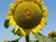 Як захистити соняшник від нестачі вологи і отримати хороший урожай