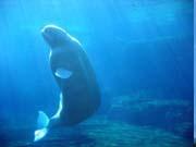 """Вчені: У горбатих китів є свої """"хіти"""""""