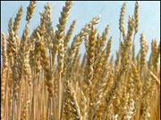 Україна збільшила експорт органічної пшениці
