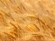 Минагропрод предлагает закрепить объем экспорта пшеницы на уровне 8 млн тонн