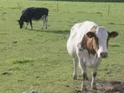 Українські фермери активно продають худобу