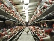 Косюк підтвердив плани щодо купівлі французької птахофабрики