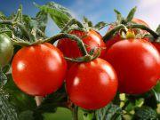 У Чехії на теплі від майнінгових ферм виростили томати