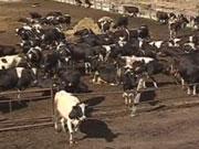 Билл Гейтс вложил 40 млн долларов в создание идеальной коровы