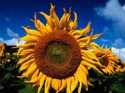 Україна збільшила імпорт соняшнику в 2,5 рази