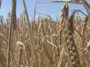 Украинские аграрии уже экспортировали более 15 миллионов тонн зерновых