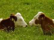 Кабмин заплатит компаниям за содержание крупного рогатого скота
