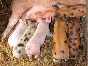 Свині стали жирними і плодовитими завдяки китайцям