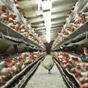 Україна наростила поставки курятини в ЄС