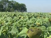 Цього року в Україні вигідно вирощувати соняшник, зернові та ріпак