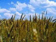 Минэкономики начало регистрировать заявки на экспорт зерна