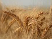 Хлеб может подорожать: Украинцев предупредили о дефиците пшеницы