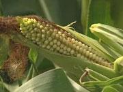 З Аграрного фонду вкрали 14 тисяч тонн кукурудзи