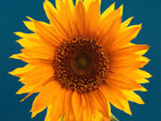 Американці зайнялися виробництвом соняшнику в Україні