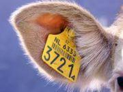 Систему ідентифікації тварин хочуть спростити і перевести в електронний формат